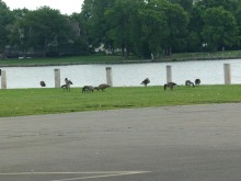 Ubiquitous Canada geese at the launch. Shootable in one month.
